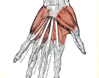 The Human Hand - Muscles of the Left Hand  - 1918 Human Anatomy Illustration - Vinatge Anatomy Book Page