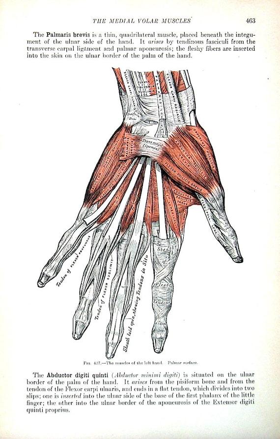 Erfreut Hand Anatomie Muskeln Galerie - Menschliche Anatomie Bilder ...