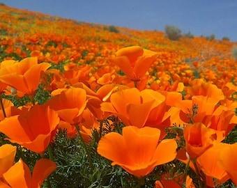Golden poppies etsy california poppy golden poppy state flower of california mightylinksfo