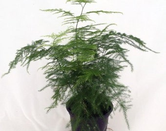 "Fern Leaf Plumosus Asparagus Fern - 4"" Pot - Easy to Grow - Great Houseplant (FREE SHIPPING)"
