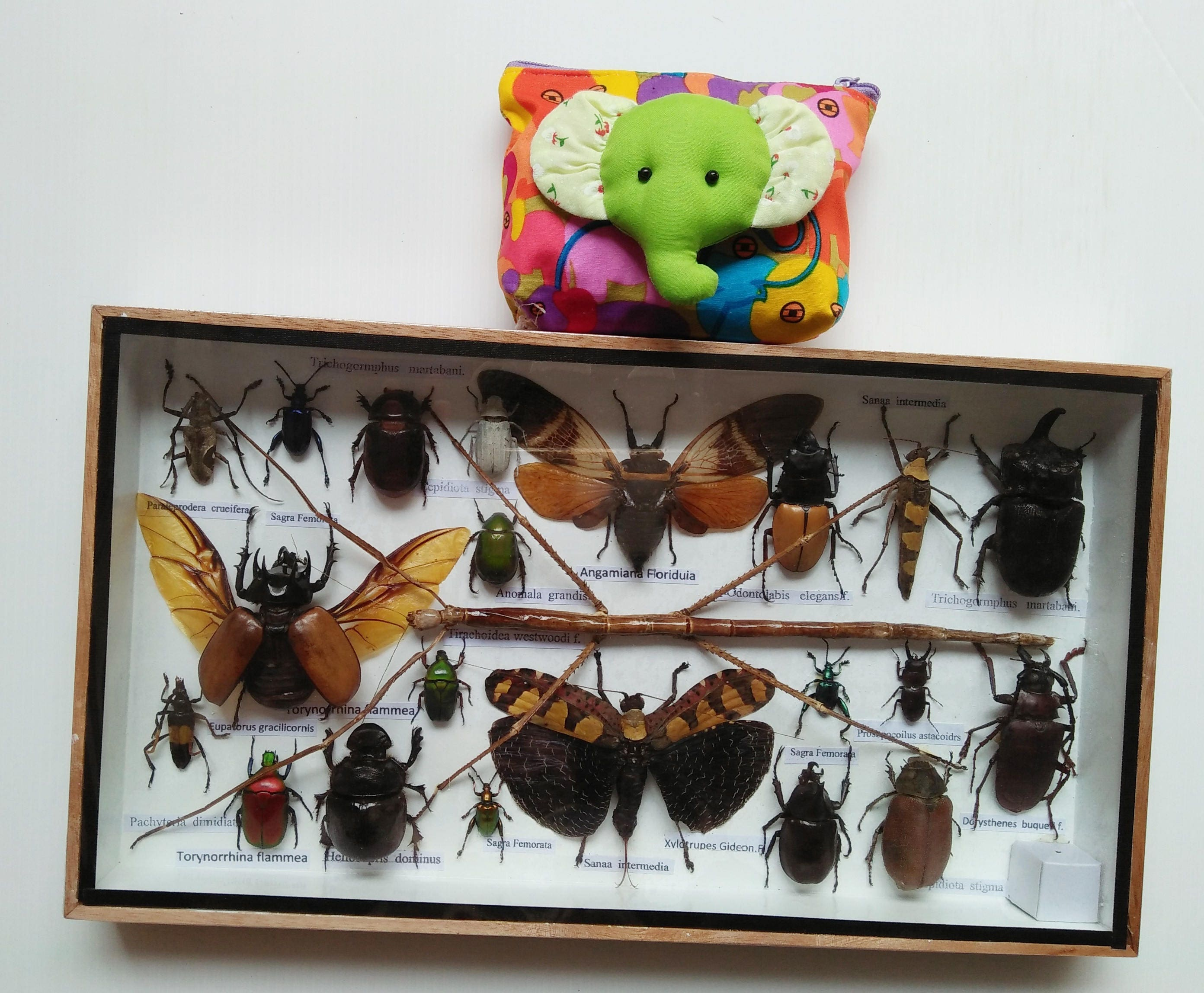 3D echte große Insekt Insekten Bugs Box gerahmt Rahmen Display