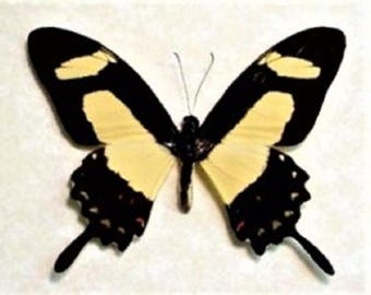 One Real Butterfly yellow swallowtail Papilio torquatus