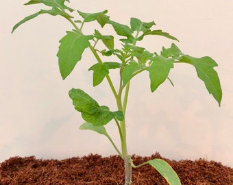 6 pack of large tomato plants