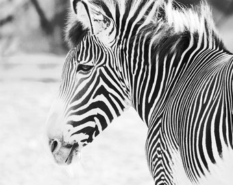 Zebra photo print, black and white picture, zoo animal, wall art nature photography gift, nursery home decor 8x10 11x14 16x20 20x30 canvas