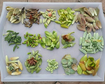 150 Succulent Leaves Propagation Crassula/Sedum/Kalanchoe/Graptosedum Variety DIY Starter Collection