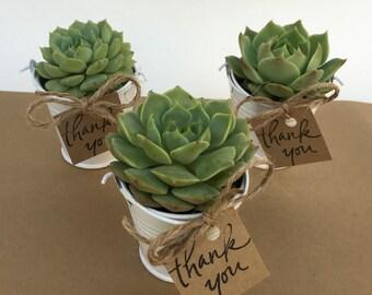 40 Plant Favors-Succulents-Succulent Party Favors-40 Plant Favors-Bridal Shower Favors-40 Favors in Tin Pails-Wedding Succulents-Plant Gift