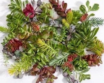 10 Assorted Variety Succulent Cuttings - Winter Hardy Terrarium Terrariums Fairy Garden