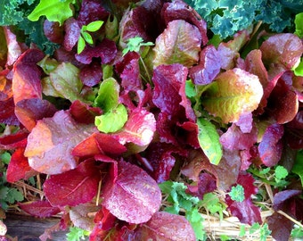 Mixed Lettuce Seeds, Grow Your Own Organic Lettuce, Great for Container Gardens and Urban Gardens