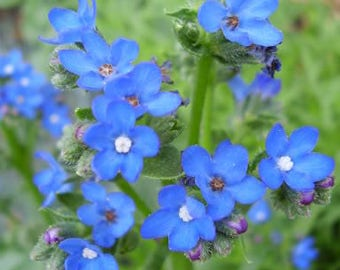 100 BLUE ANGEL ANCHUSA (Summer Forget Me Not) Anchusa Carpensis Flower Seeds