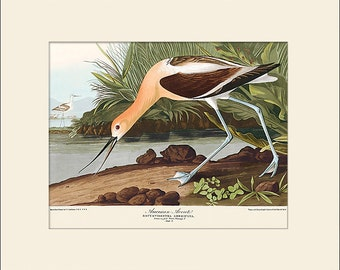 Audubon Bird Art Print, American Avocet, New Matted Art Print, Note Card, Wall Decor, Natural History, Vintage Bird Illustration, Wall Art