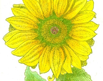 Sunflower - Hand-colored, Hand Printed, Black & White; Original Intaglio Etching and Engraving, Limited Edition, Botanical, Flower Print,