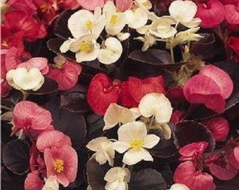 Begonia Nightlife  Mix  Flower Seeds / Annual  30+