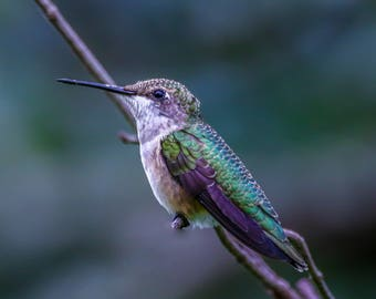Hummingbird in Cades Cove
