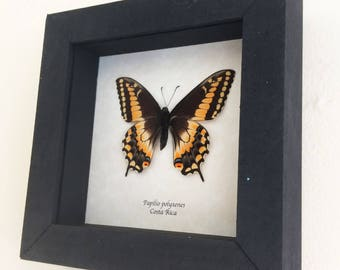 Real butterfly framed - Papilio polyxenes