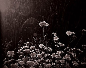 20 Percent Off Sale nature photography queen annes lace black and white photography fine art home decor office decor