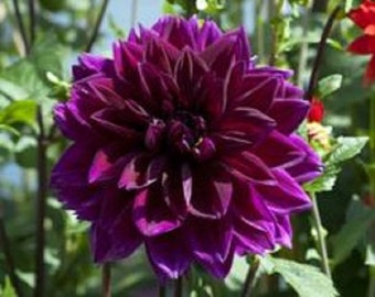 Deep Purple  Dahlia  Flower Seeds / Annual 10+