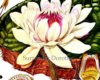 Royal Water Lily Victoria Amazonica Flower Central South America Botanical Exotica 1960s Large Vintage Illustration To Frame 169