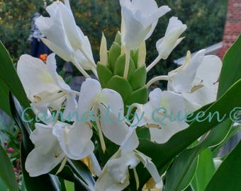 Tropical plant etsy white butterfly ginger lily hedychium tropical plant rhizome plant mightylinksfo