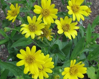 Meadow Arnica Seeds a.K.a Chamisso arnica,- Arnica chamissonis,- Perennial herb plant