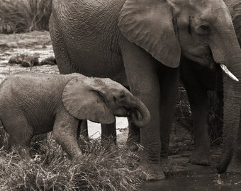 Baby Elephant Nursery Art Print - Black and White Sepia Wildlife Photo - South Africa Elephant Photography - Animal Lover Gift - 5x7 8x10