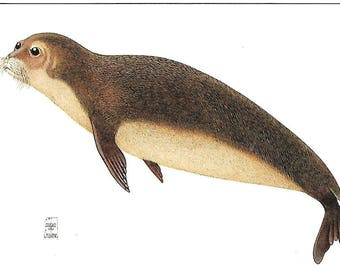 Earless Monk Seal of the Tribe Monachini-  Color Chrome Postcard