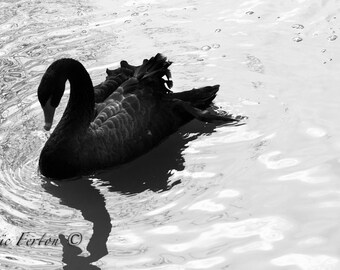 Photograph of a Black Swan in its environment