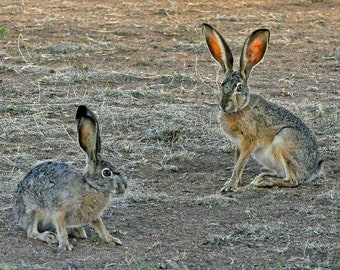 So Do You Come Here Often   Jackrabbits    Long Ears   Long Legs   New Mexico   Wildlife   White Signal   NM
