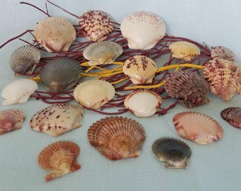 Variety of Beautiful Scallop Seashells from Sanibel Island, Florida (21 Shells)