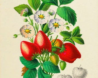 antique french botanical print strawberries illustration digital download