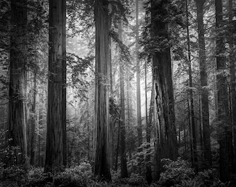 Forest Dreams, California Redwoods, Redwood National Park, Tall Trees, Coastal Redwoods