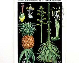 Pull Down Chart - Pineapple and Agave Botanical Print Vintage Reproduction. Science Poster Plate Educational Botany Diagram - CP267cv