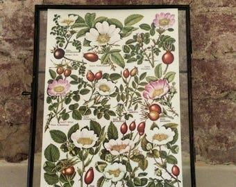 Vintage framed botanical drawing, vintage botanical flower illustrations, botanical prints, floral, in glass frame, berries daisies green
