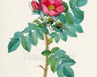 Kamtschatka Rose Flower Art Print, Botanical Art Print, Flower Wall Art, Flower Print, Floral Print, Red Rose Art Print, Home Decor