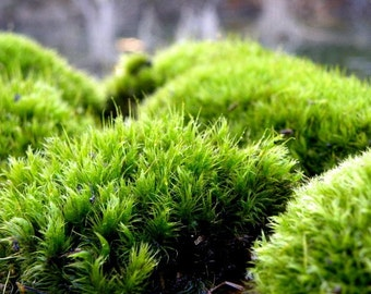 Terrarium Moss-Mood Moss-Frog Moss-Live Dicranum Moss for Terrariums and Vivariums-Fairy Garden Forest-Sandwich bag