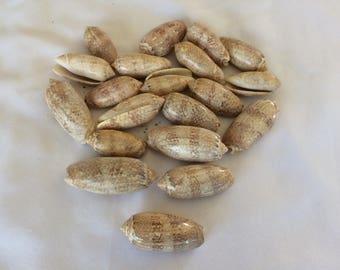 Olive Sea Shells