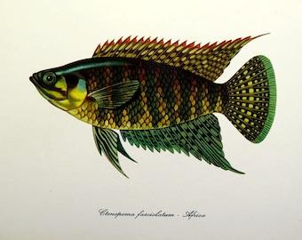 1975 antique banded bushfish lithograph, FISHES color print,  vintage fish, sea life engraving, marine animal.