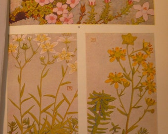 Pink White Yellow Alpine Flowers Botanical Print - Flower Lithographs - vibrant colors - double sided - Saxifraga Rockfoil