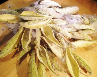 Dried Milkweed Pods, Milk Weed Pod Crafts, Seed Pod, Dried Arrangements, Craft Supplies, Asclepias Syriaca, Nature Crafting, Floral Supplies