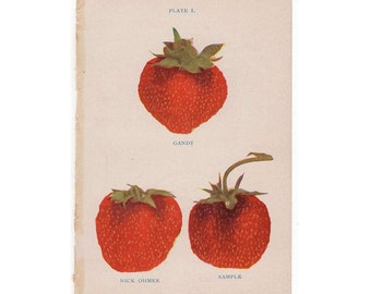 1905 strawberry original antique fruit berry berries  print - strawberries pl 1