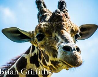 Giraffe Portrait Print, Nature Wall Art, Fine Art Decor