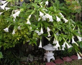 25 White Angel Trumpet Seeds-1076