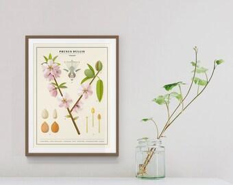 Almond (prunus dulcis) study print | Natural history vintage poster