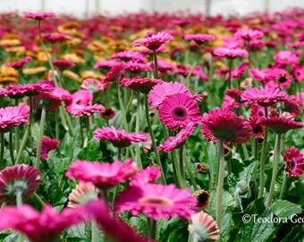Digital Download Pink Gerbera Flower Photo Print, Botanical, Flower Photography