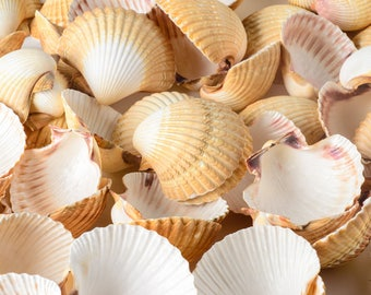 "Mexican Deep Sea Shell Beach Craft Scallop 2 1/2"" - 3"" (20 PCS )"