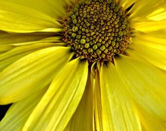 Yellow Daisy Photo, Yellow Flower, Flower Photo, Daisy Petals, Floral Photo, Daisies, Floral Decor, Radiance, Floral Art, Yellow Daisy