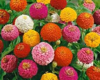 Mixed Color Mini-Pompom or Lilliput Zinnias