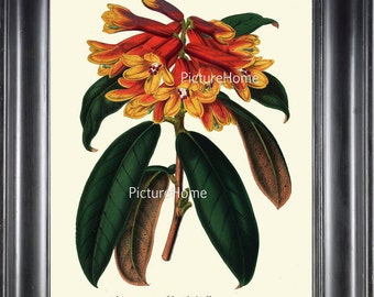 Botanical Print H99 Beautiful 8X10 Antique Red Yellow Rhododendron Flower Garden Nature Room Wall Decoration to Frame