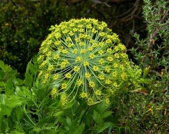 Peucedanum Galbanum ~ Notobubon Galbanum ~ Blister Bush ~ Evergreen Shrub ~ RARE 3 Seeds ~