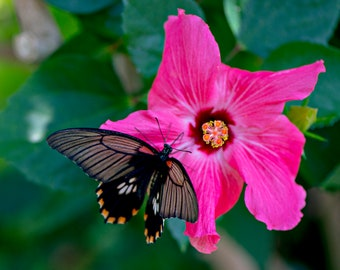 Hibiscus + Butterfly
