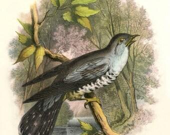 Antique CUCKOO BIRD Postcard - Digital INSTANT Download - nature avian songbird ephemera print collage supply